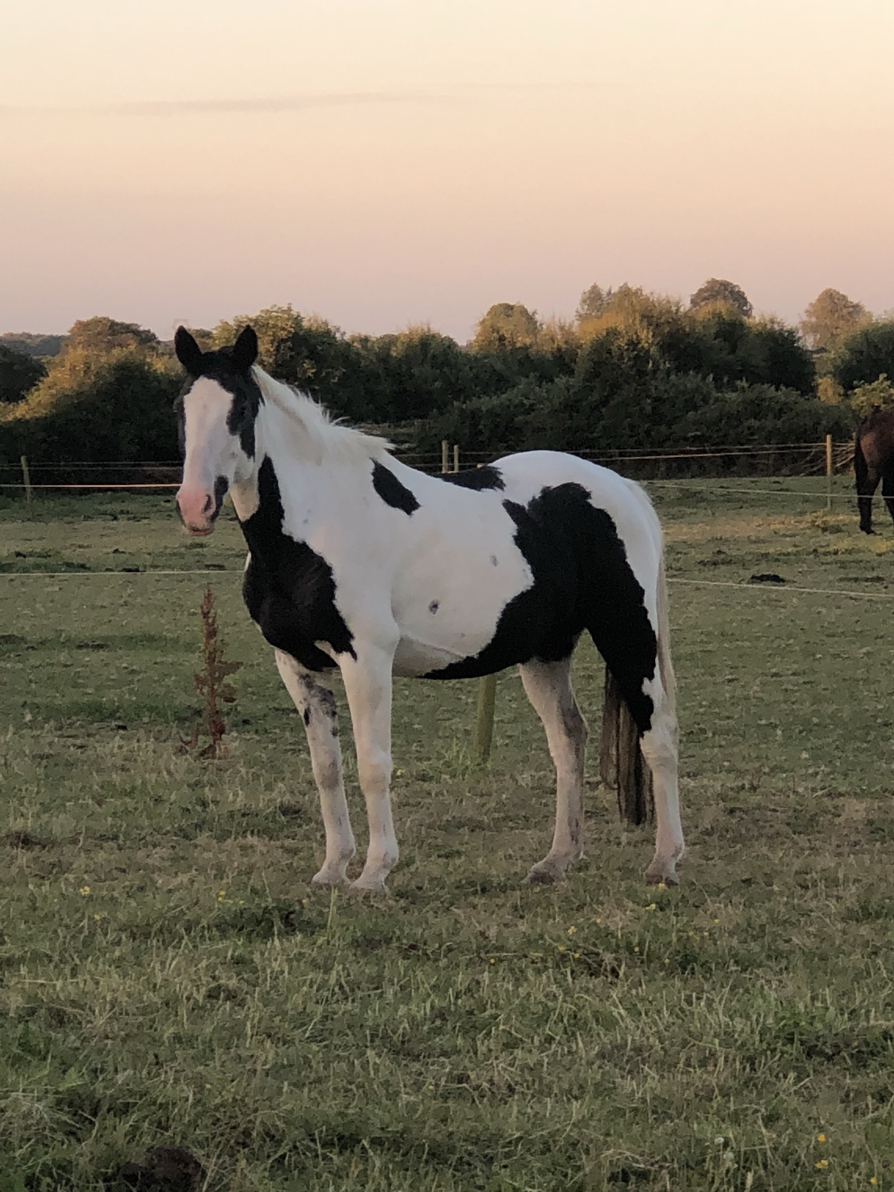 Foxhall Diggit a piebald pony enjoying a summers evening in the field.