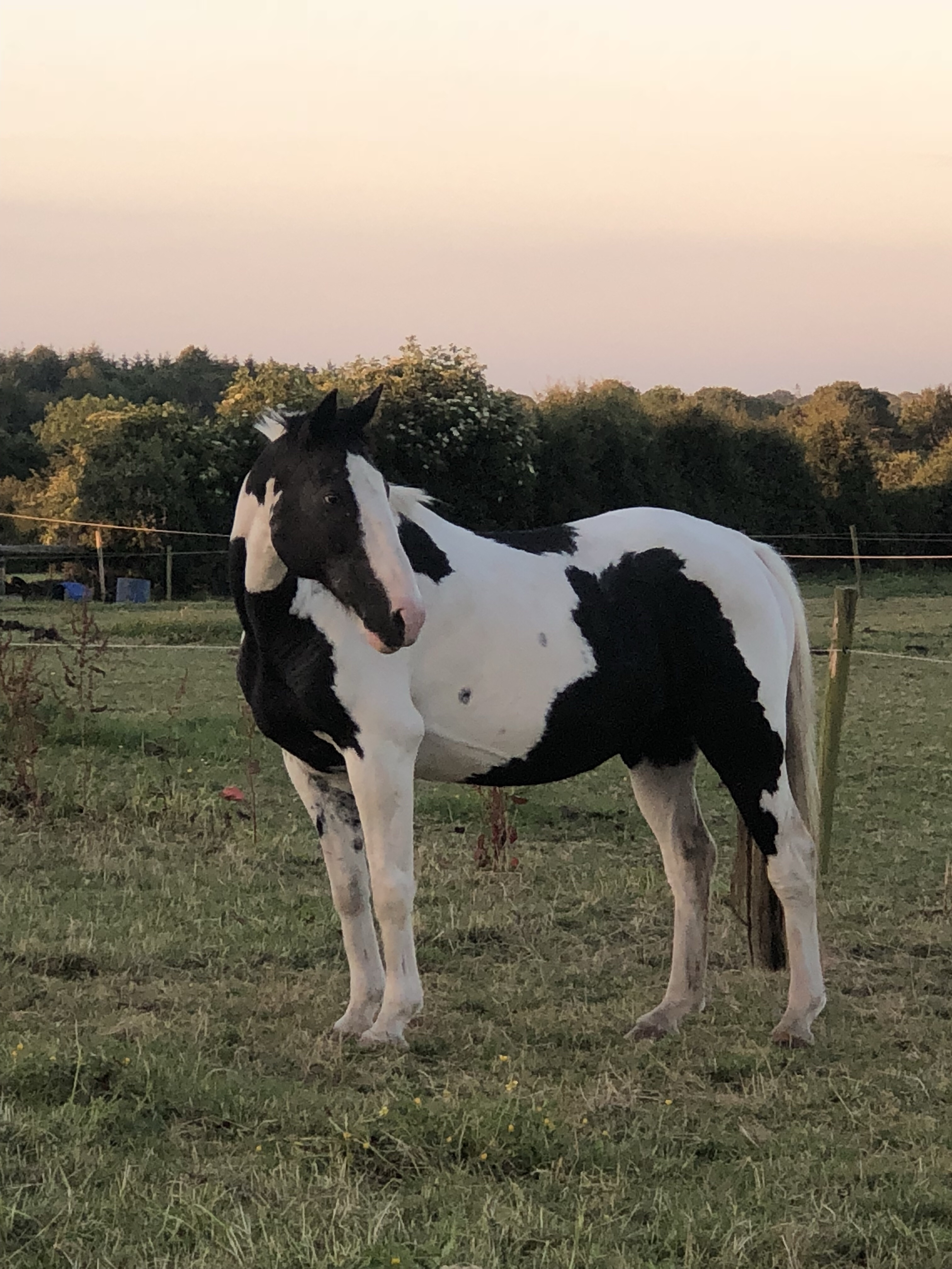 Foxhall Diggit a piebald pony in the field